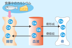 カルシウム|栄養素の説明|栄養...
